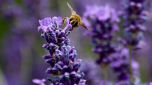A bee visiting lavender