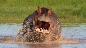 Hippo on the Luangwa River in Zambia
