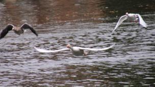 Geese take flight in Abingdon