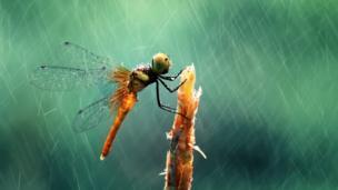 ภาพแมลงปอกลางสายฝน ภาพคมชัดจนแทบจะรู้สึกได้ถึงเม็ดฝนที่หล่นกระทบตัวมัน