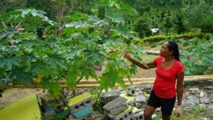 Louisette Auguiste collecting castor oil seeds