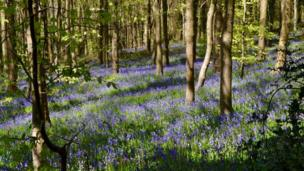 Bluebells near Crickhowell, by Tracy Rees