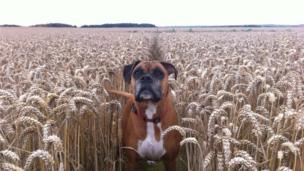 Beca the dog in a corn field in Llangadwaladr, Anglesey
