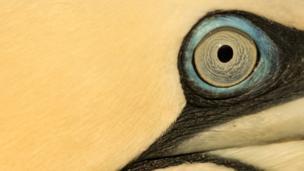 Gannet eye close-up by Marc Albiac