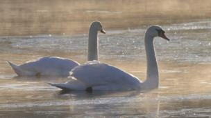 Swans on a frosty lake at Llandrindod Wells in Powys.