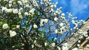 Magnolia Tree in Oxford's botanic gardens