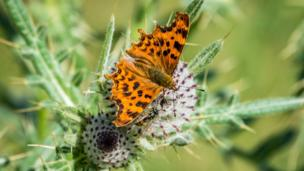 A butterfly landing on thistle, also snapped at the Wittenham Clumps