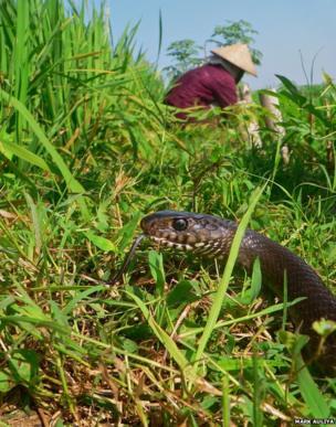 rat snake in a paddy field
