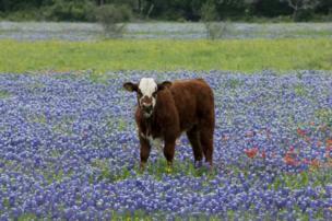 Vaca en medio de un pasto con florecientes acianos