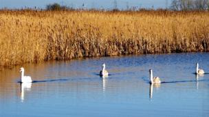Swans on the water in Newport's wetlands