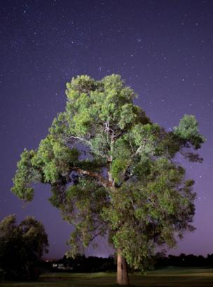 A gum tree at night