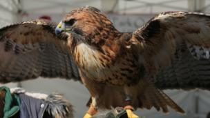 an American bird of prey on display at the RHS flower show in Cardiff.
