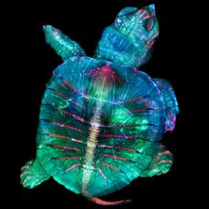 Embrión de tortuga fluorescente