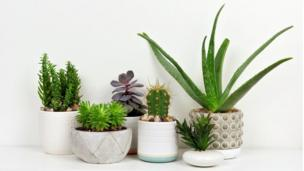 Potted doggy den plants