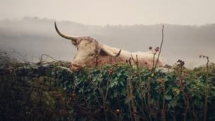 A cow leaning over a wall