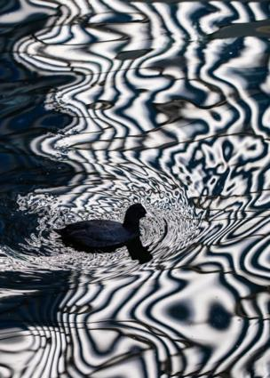 Coot and reflection on water