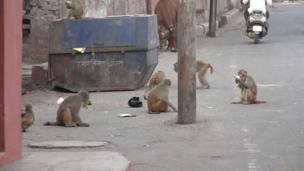 Monkeys on a street Birrai a kan titi