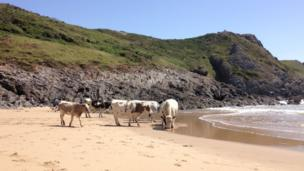 These cows enjoying a paddle at Pobbles Bay, Gower, were captured on camera by Tricia Vaughan