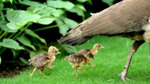 A peahen and chicks