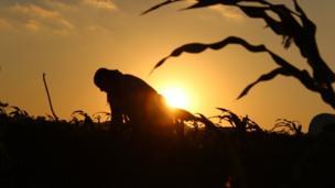Balıkesir'de bir mısır tarlası.