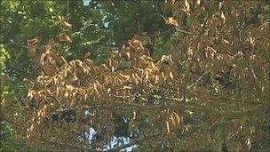 Withered elm leaves