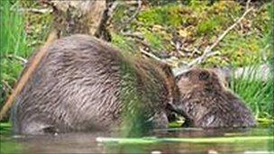 Beaver and kit