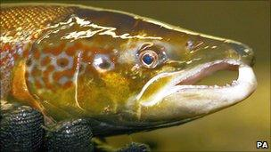 Generic female salmon