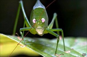 Newly discovered katydid in Papua New Guinea (6 September 2009)