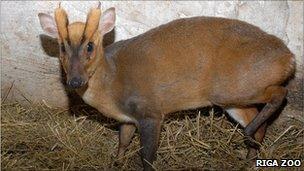 The deer has been called Patriks in Latvia