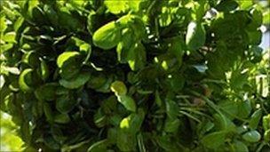Cress plant