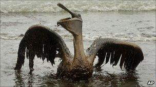 A brown pelican covered in oil sits on the beach at East Grand Terre Island (3 June 2010)