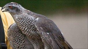 Goshawk stolen from pen in Suffolk