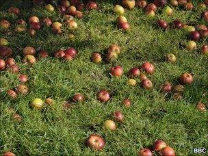 Apples in Herefordshire