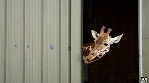 Giraffe at zoo peeking out