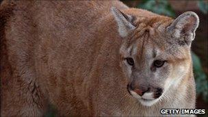 Mountain lion (file image)