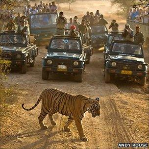 Tiger crossing the path of tourists' vehicles