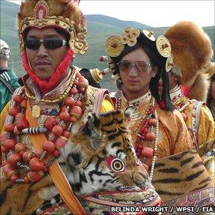 Tiger skin being used