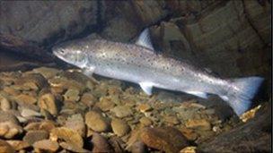 Sea trout (copyright: David Miller)