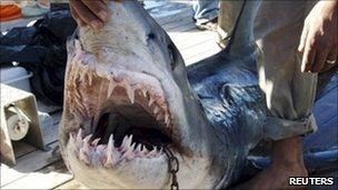 A man holds a shark off Sharm el-Sheikh. Photo: 2 December 2010