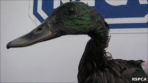 Bird affected by oil spill
