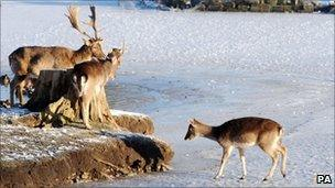 Deer on frozen lake