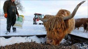 Highland cow near Carronbridge, Scotland