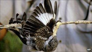 A bird snared on a stick