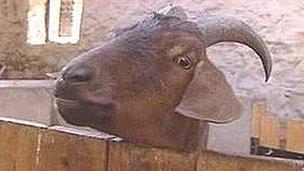 Sanctuary goat