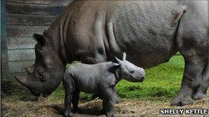 New black rhino calf with mother Ruaha