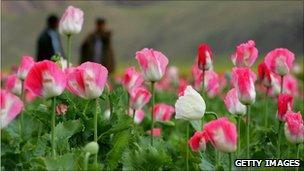 A poppy field in Afghanistan