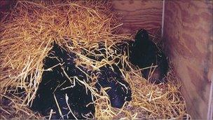 Black bear in artificial den (O Toien/U Alaska Fairbanks)