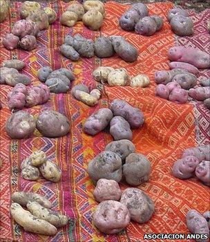 Samples of Peruvian potatoes (Image: Asociacion ANDES/GCDT)
