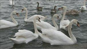Swans on Marine Lake