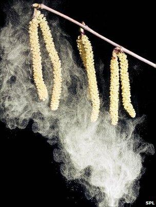 Pollen from catkins